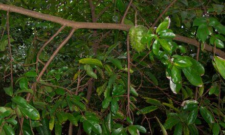 Conoce los 8 beneficios de la guanábana