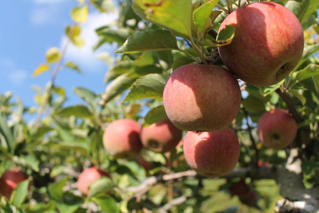 Pommes dans leur pommier