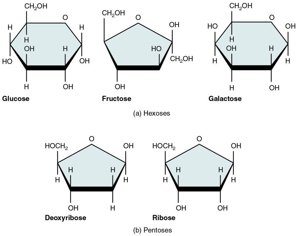 Principaux monosaccharides
