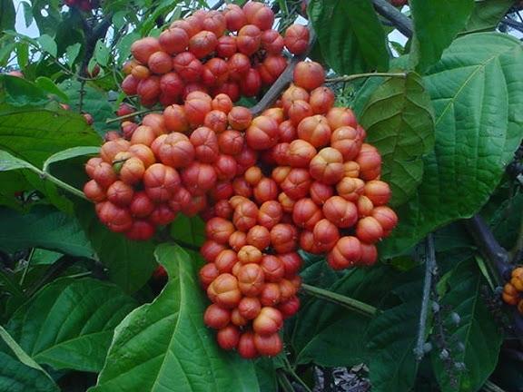Le Guarana contient de la caféine