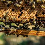 Les vertus du miel de thym