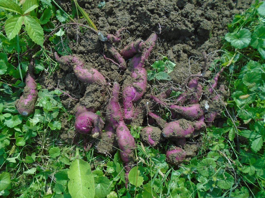 Récolte de patate douce