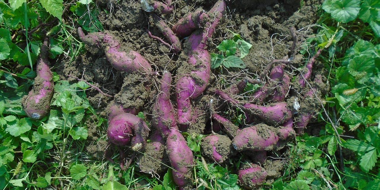 La patate douce est-elle un féculent ou un légume ?