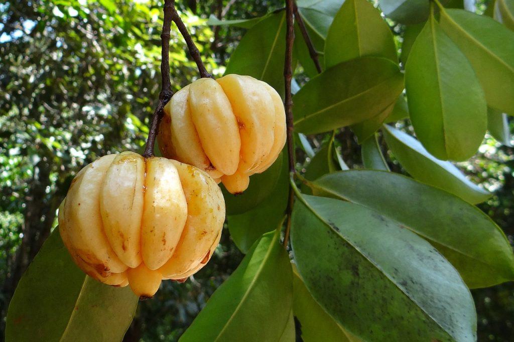 Deux fruits de garcinia cambogia
