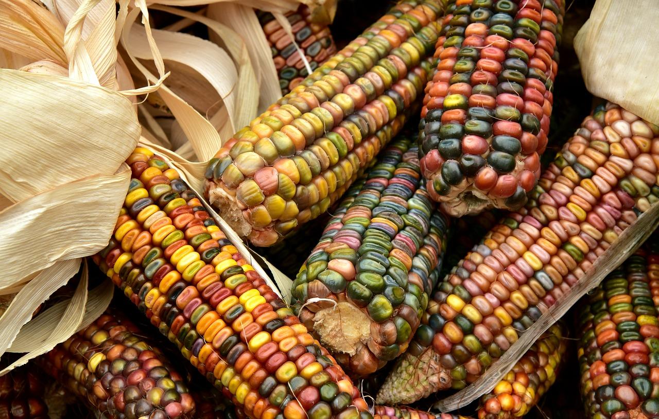 Le maïs fait-il grossir?