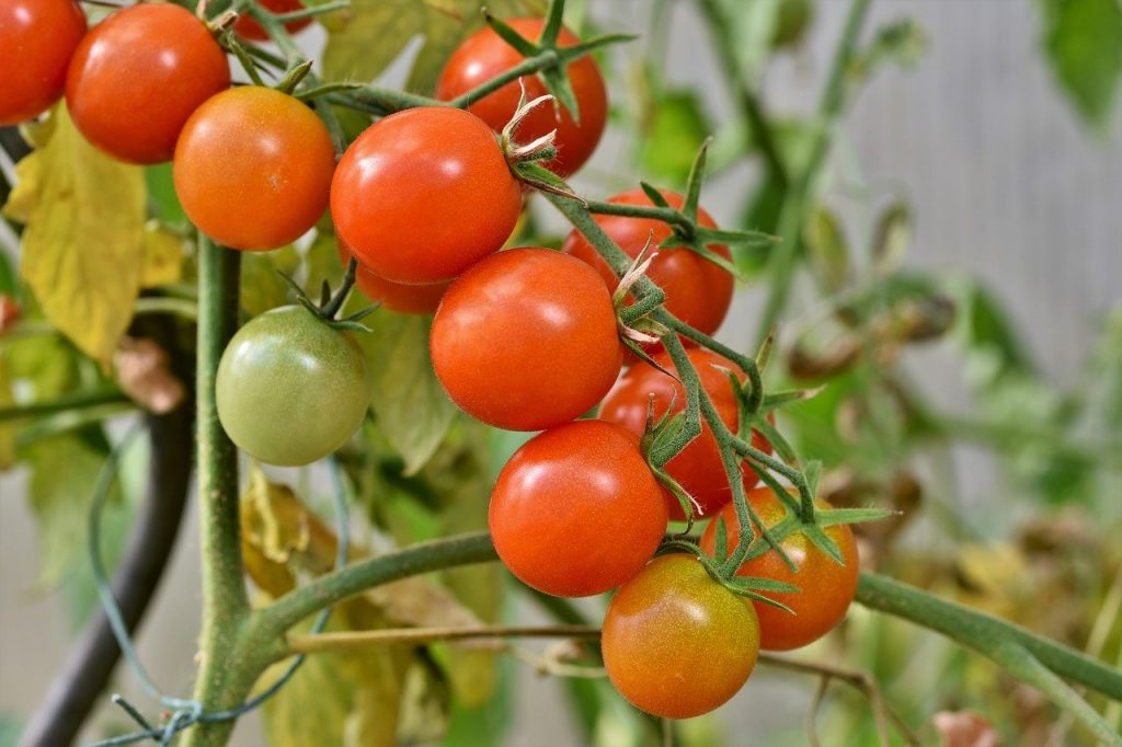 Classification de la tomate.