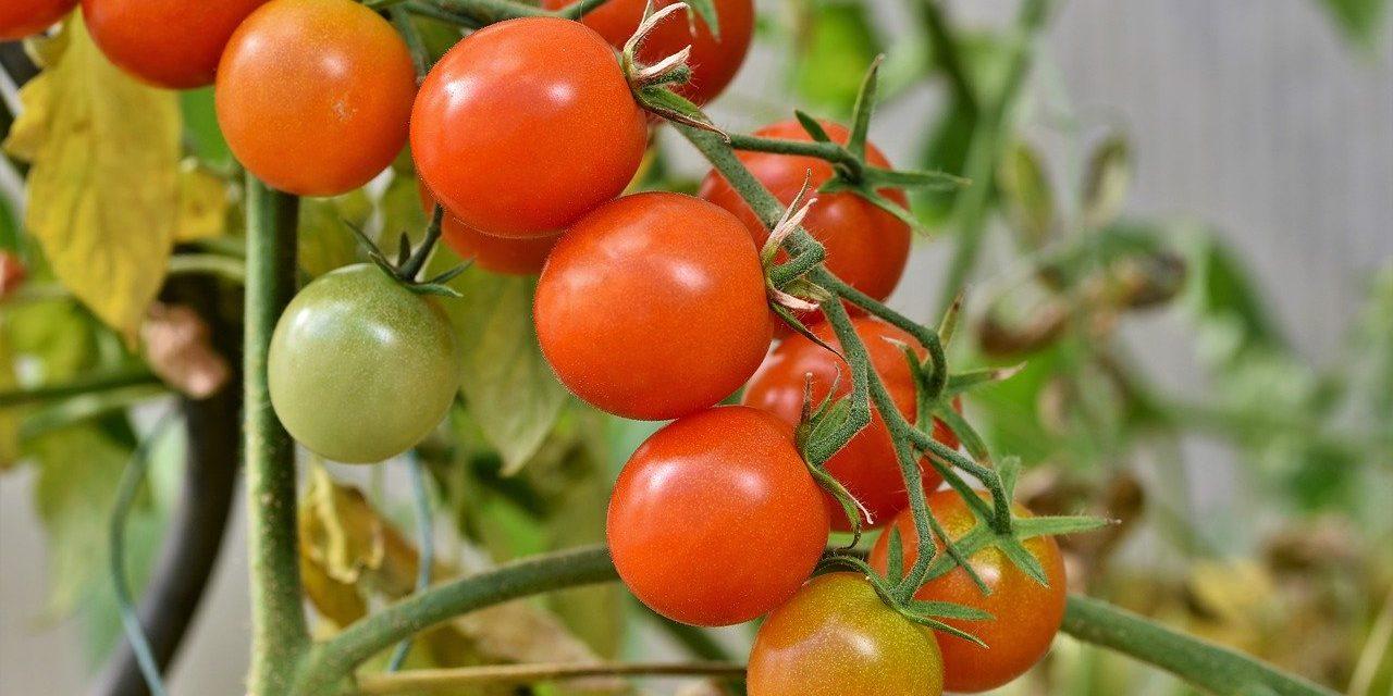 La tomate : fruit ou légume ?