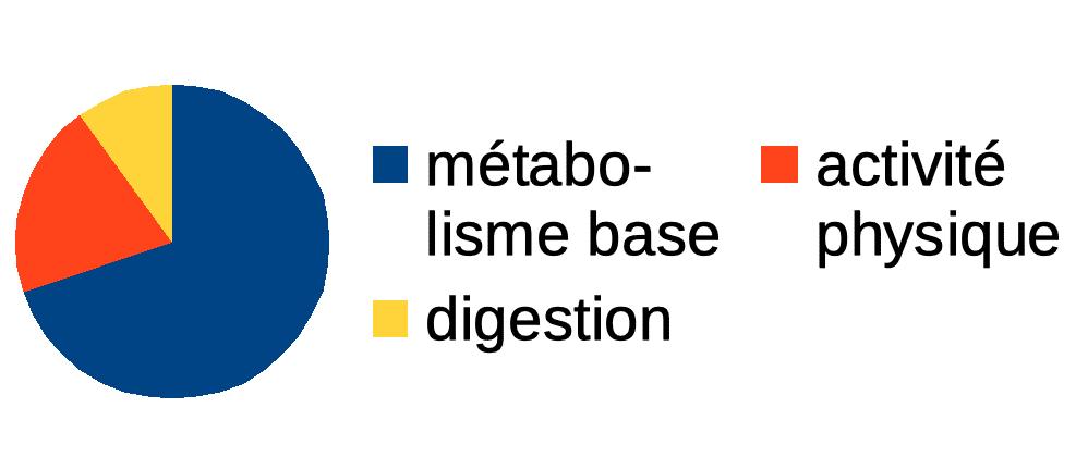 repartition-depenses-metabolisme-digestion