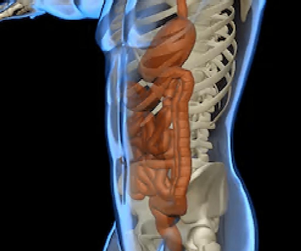 Système digestif siège de la dysbiose intestinale