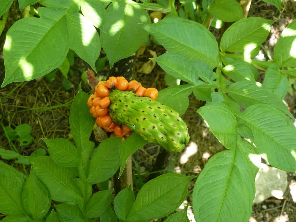 la plante konjac